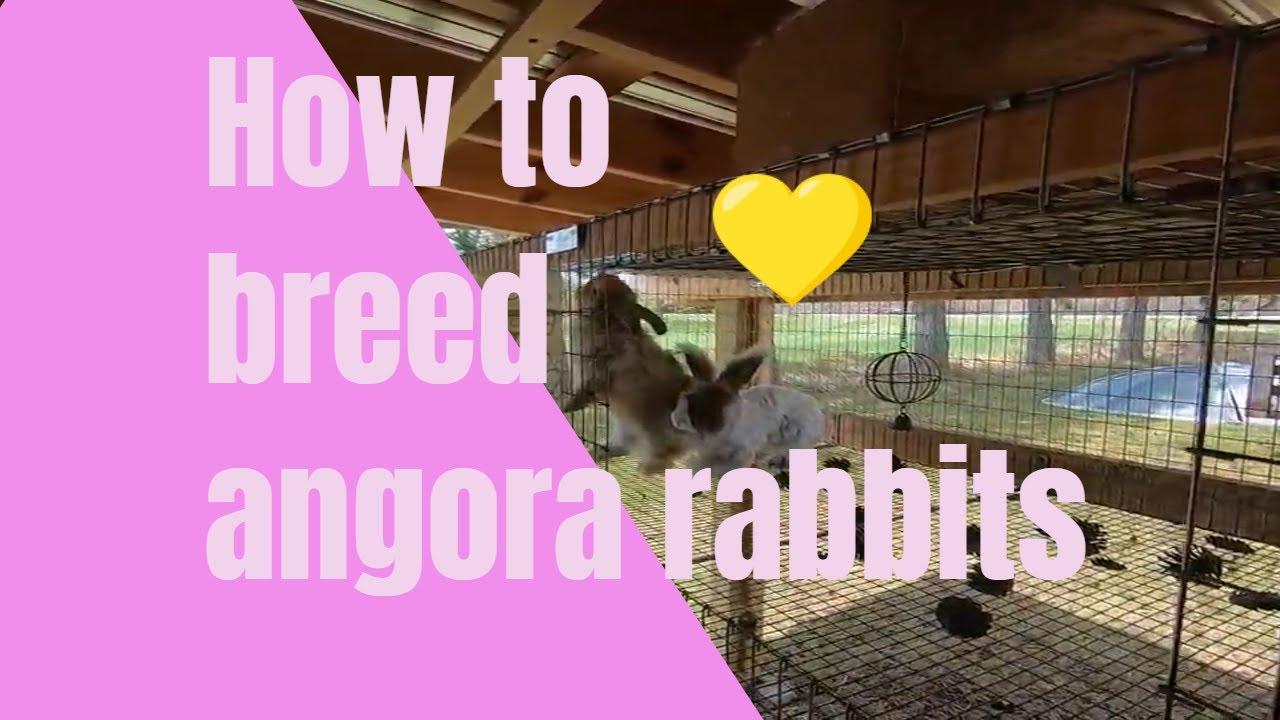 How to breed angora rabbits