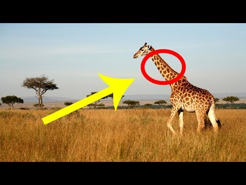 Here's What Really Happens To A Giraffe's Neck When It Falls Asleep