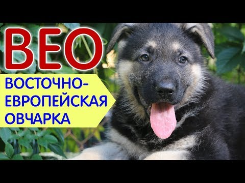 Вопрос: Что известно о собаках породы Восточноевропейская овчарка?