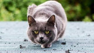 Серый кот нападает