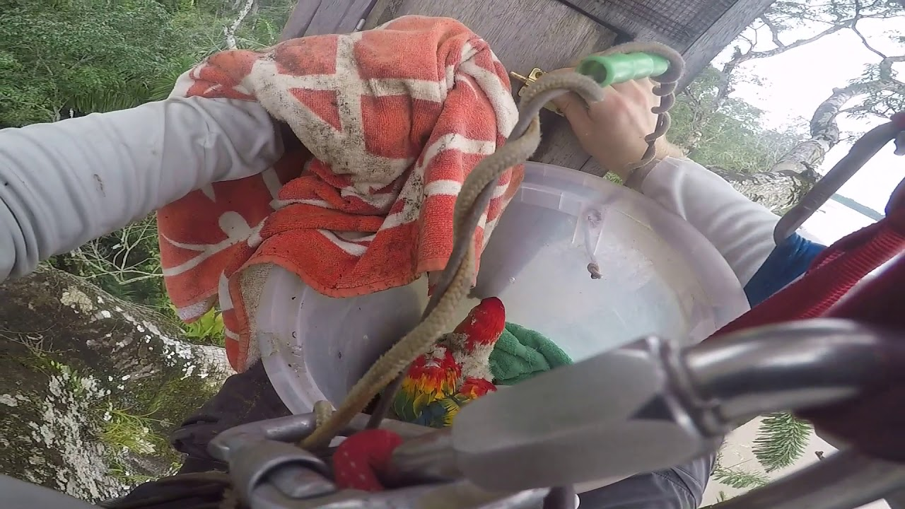 Download Tree Climb and Macaw Chick Extraction from the Ceiba Tree Nest