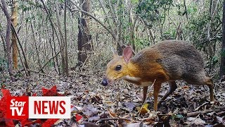 Mouse deer rediscovered in Vietnam after nearly 30 years