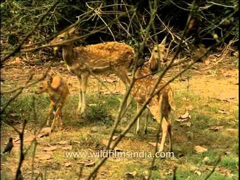 Cheetals in wilderness