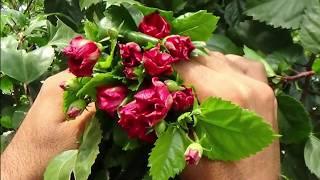 এই ফুলের রয়েছে জাদুকারী বেশ কিছু ঔষধি গুনাগুন || This flower contains several medicinal herbs