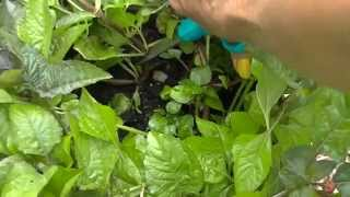 Spilanthes Toothache Plant Harvesting & Drying
