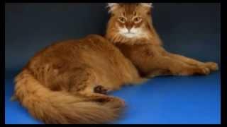 Сомалийская кошка или просто сомали — длинношёрстная кошка  произошедшая от абиссинской