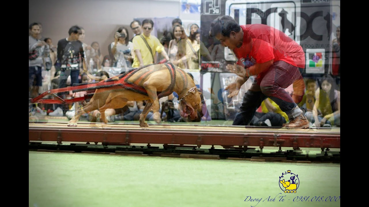 Pitbull weight pulling Championship at Thailand international dog show 2019