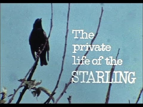 The Private Life of the Starling