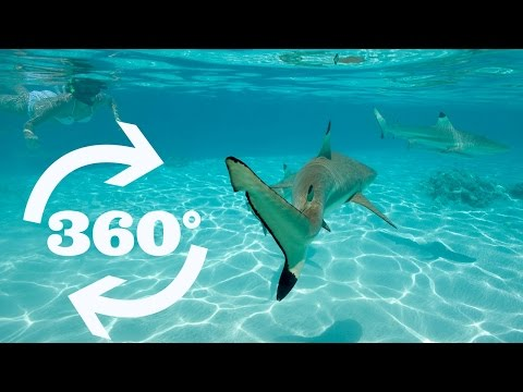 Bora Bora Sharks and Rays in VR 360 Video!