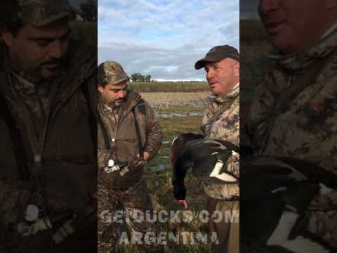 argentina duck hunting calling rosybilled pochards 6328