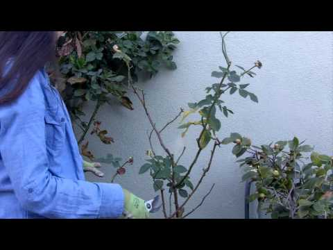 How to Prune Your Roses in 4 Easy Steps