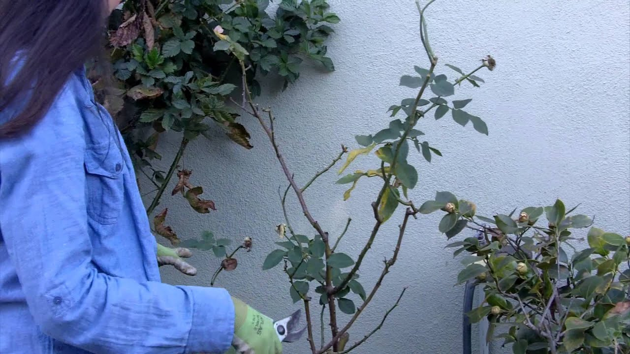 How to cut a rose for the winter