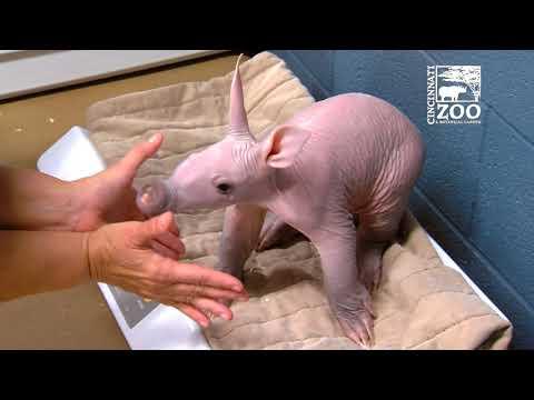 Weighing a Baby Aardvark is Not Easy - Cincinnati Zoo