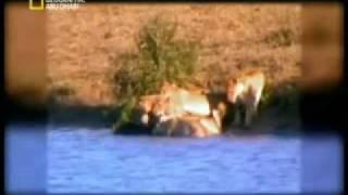 مقطع لا يصدق معركة بين حيوانات مفترسة على عجل !!