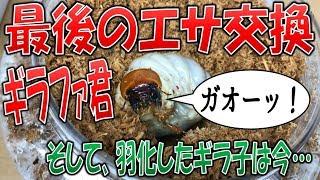 クワガタ&カブトムシ☆昆虫採集 ギラファノコギリクワガタ最後のエサ交...