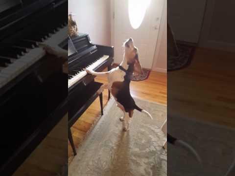 este perrito toca el piano cantando y es la nueva sensacion de facebook