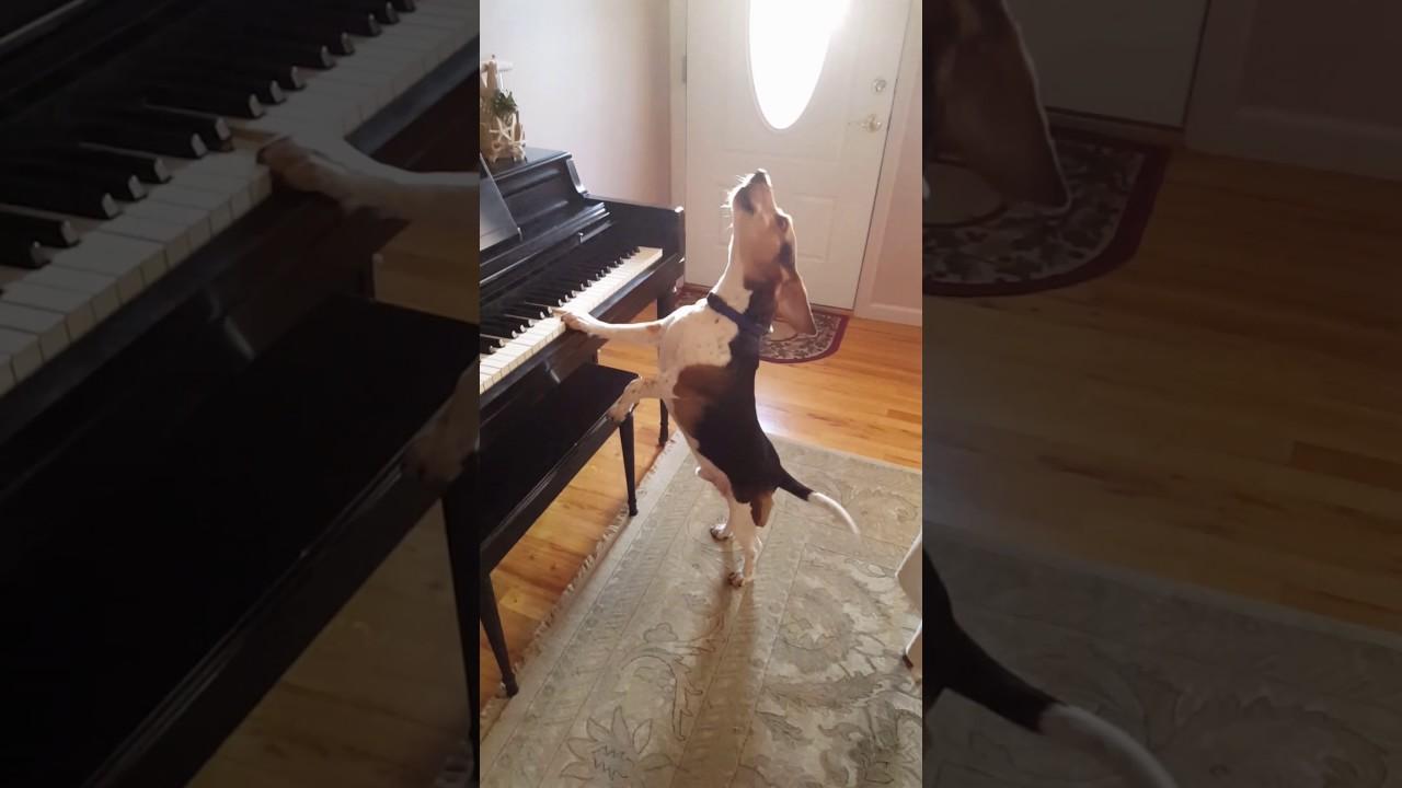 הכלב הגאון שיודע לנגן בפסנתר
