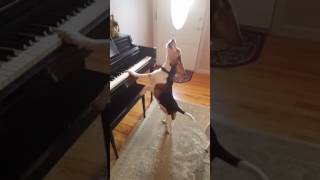 Cute Beagle who plays piano and sings!