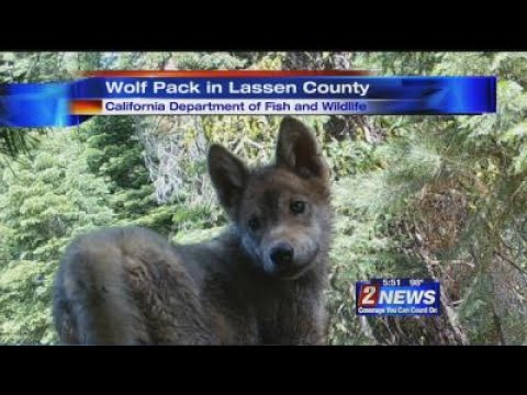 7/7 5:30pm Wolf Pack in Lassen County