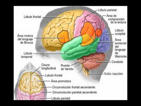 FUNCIONES DEL CEREBRO.wmv - YouTube