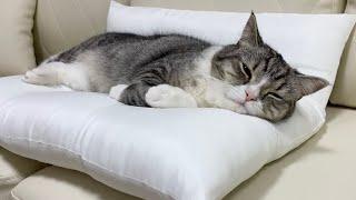 ただぐうたら寝てるだけでかわいいもち猫がこちら。