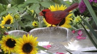 Bird Bath & Sun Flowers Fyv 1080 Hd
