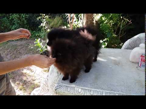 Anjula Pomeranians Toypoms