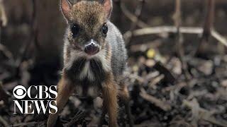 Tiny mouse deer born at Bristol Zoo