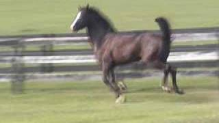Declaration - Morgan Sport Horse