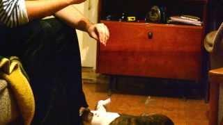 Щенок амстаффа (3 мес.) выполняет команды жестами.(, 2013-11-22T15:47:50.000Z)