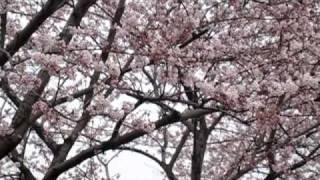 2010年4月27日の午後。 ようやく花を咲かせた桜に容赦なく吹き付ける風...