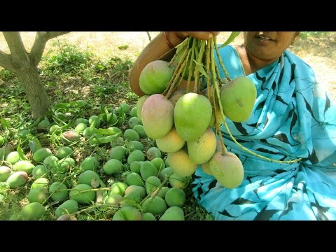 FARM FRESH MANGO FRUIT Picking in My Village | VILLAGE FOOD