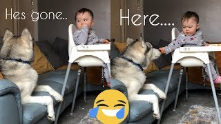 Will My Husky Steal The Baby's Food??... [GUILTY] [TRY NOT TO LAUGH CHALLENGE]