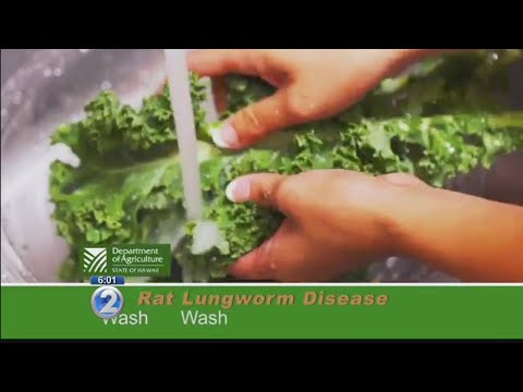 First case of rat lungworm disease confirmed this year on Oahu