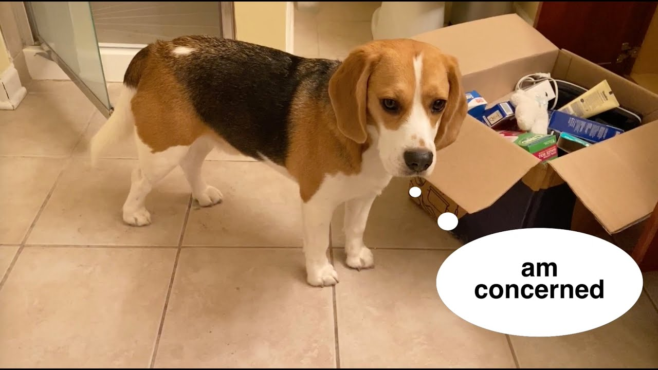 Cute beagle concerned about the big move