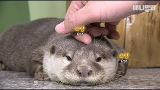 What Happened After Rescuing A Nearly Dying Baby Otter Is..