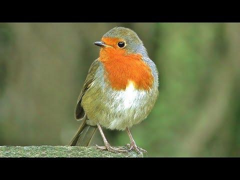 European Robin Birds Singing and Chirping : Beautiful Bird Song - ONE HOUR
