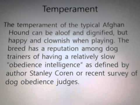 Best Breed Information Produced - Afghan Hound