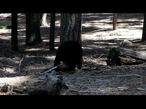 Black Bear on the General Sherman tree trail - Sequoia National Park 7/17/10