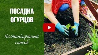 Посадка огурцов в открытый грунт - Огурцы Нестандартный способ посадки. Урожайный огород с HitsadTV