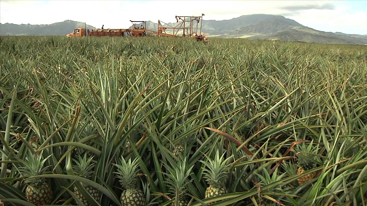 Dole Plantation - YouTube
