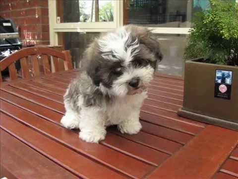 Most Inspiring Maltese Chubby Adorable Dog - hqdefault  Pictures_636879  .jpg