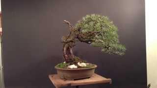 Pinus sylvestris yamadori - long branch - february 2013