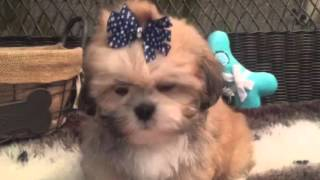Teddy bear face, Lhasa Apso puppy