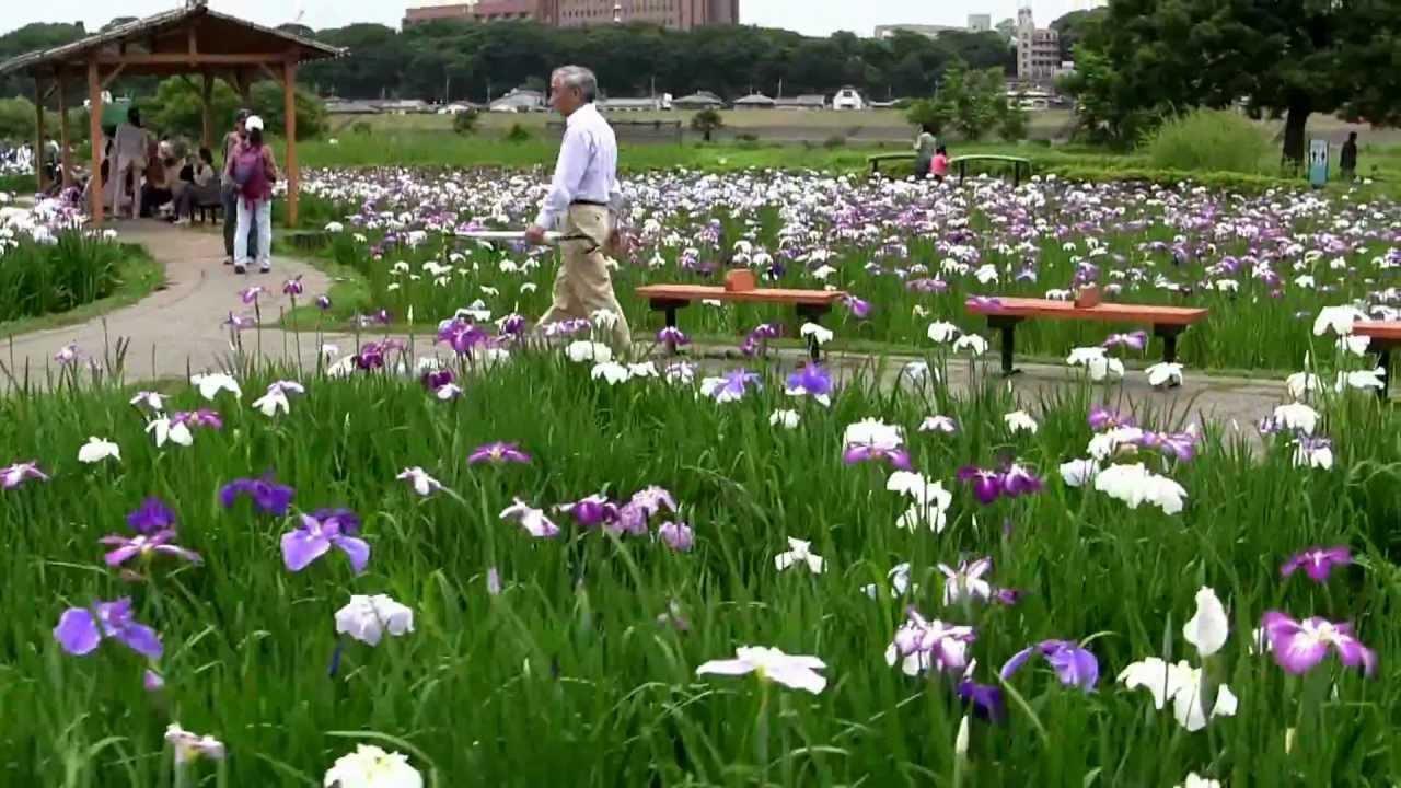 Lovely iris flowers garden in ichikawa tokyo japan iris plant lovely iris flowers garden in ichikawa tokyo japan iris plant izmirmasajfo Gallery