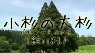 鮭川村にある巨木・小杉の大杉。その姿から『トトロの木』の名で親しま...