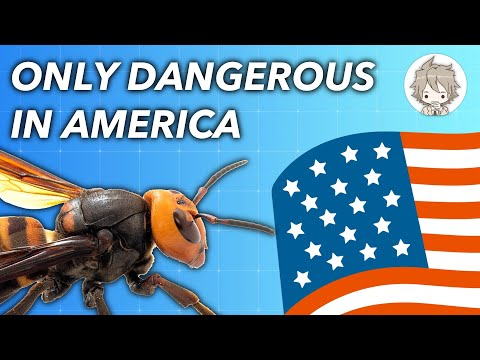 Why Murder Hornets Are Only Dangerous To Americans