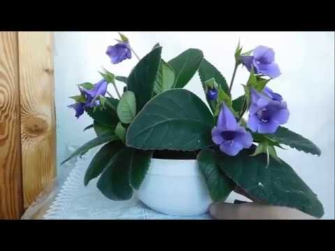 Глоксиния Тидея Фиолетовая