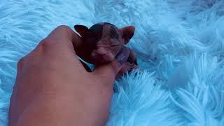Calico sphynx kitten - purrxotics