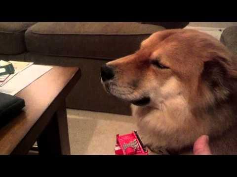 Kody the guilty dog